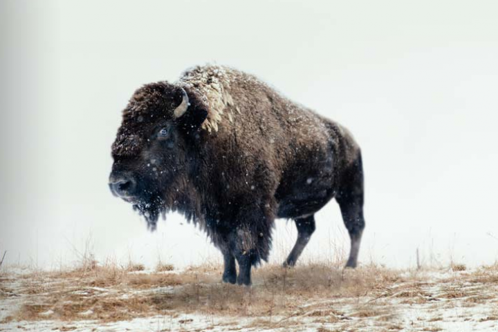 The Honest Bison