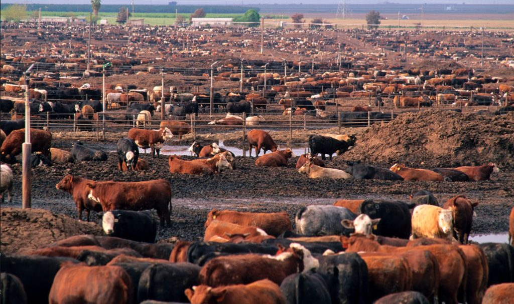 industrial feedlot model