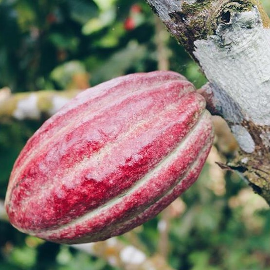 Certified Paleo Cacoco Beyond Organic Cocoa Beans