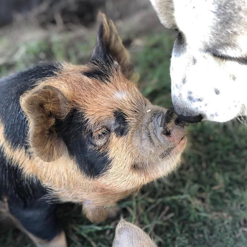 Dogs & Pigs - Primal Pastures - Paleo Approved - Paleo Foundation