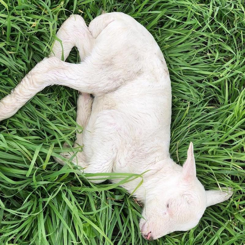 Lamb Naptime - Primal Pastures - Paleo Approved - Paleo Foundation