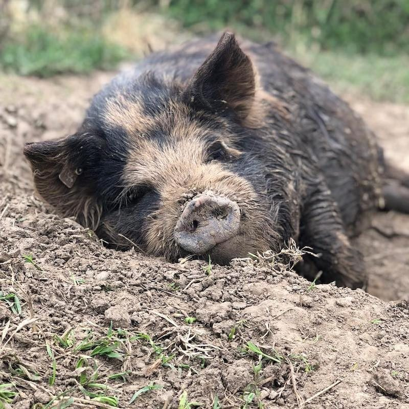 Lazy Pigs - Primal Pastures - Paleo Approved - Paleo Foundation