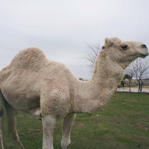 Camel - Desert Farms - Paleo Approved - Paleo Foundation