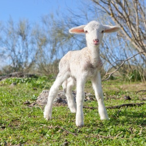 Little Lamb - Australian Grassfed Meats - Paleo Approved - Paleo Foundation