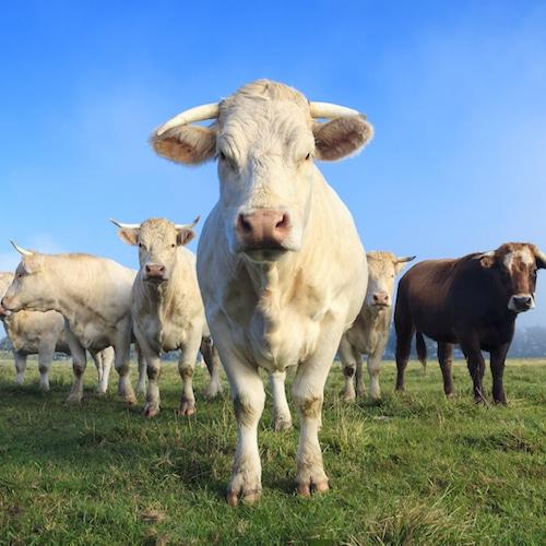 Pastured Grassfed Cows - - Australian Grassfed Meats - Paleo Approved - Paleo Foundation