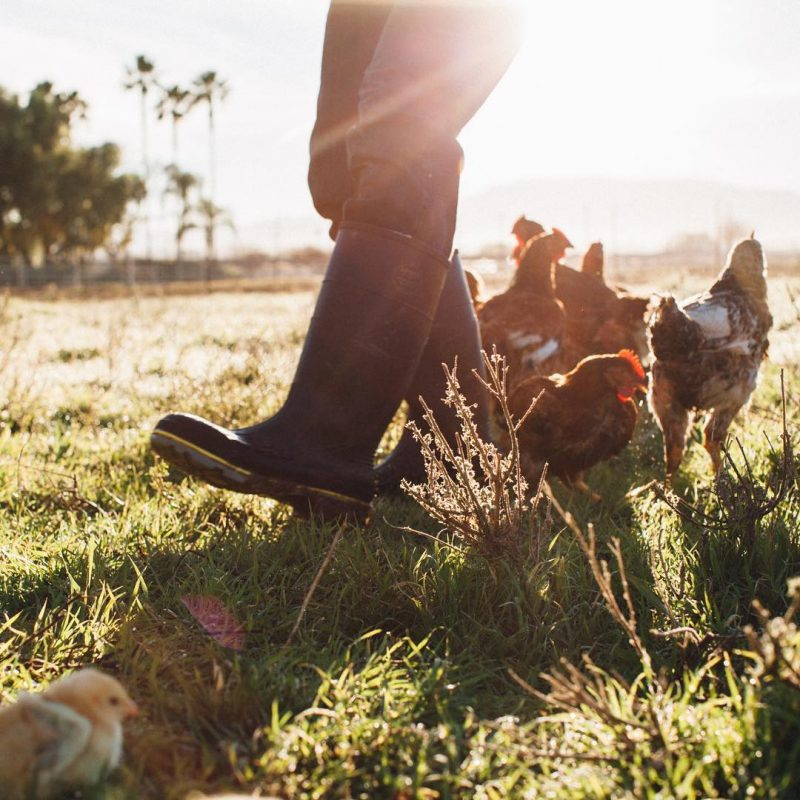Chickens 3 - Pasturebird - Paleo Approved - Paleo Foundation