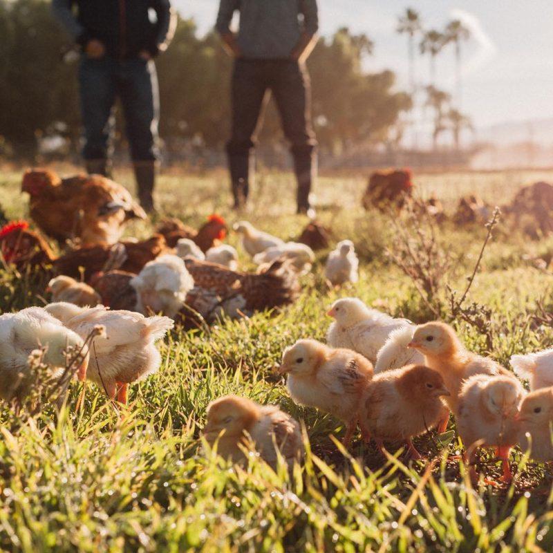 Tiny Chicks in field - Pasturebird - Paleo Approved - Paleo Foundation