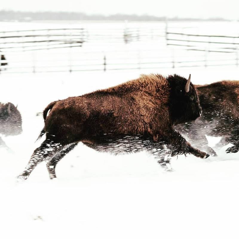 Bison in Snow - The Honest Bison - Paleo Approved - Paleo Foundation