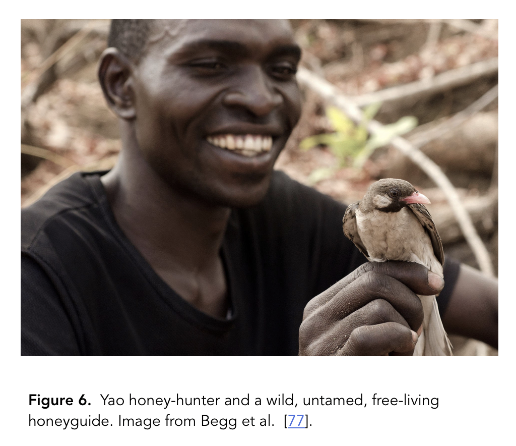 Yao honey-hunter and wild honeyguide