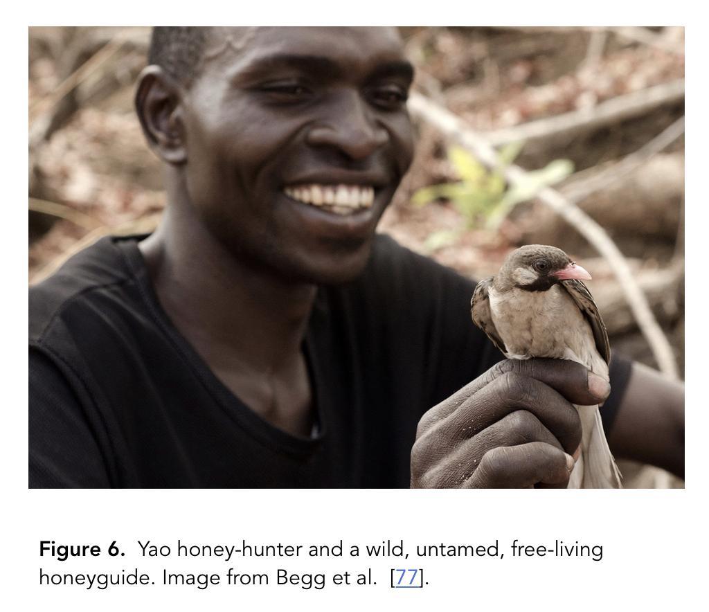 Yao honey-hunter and wild honeyguide