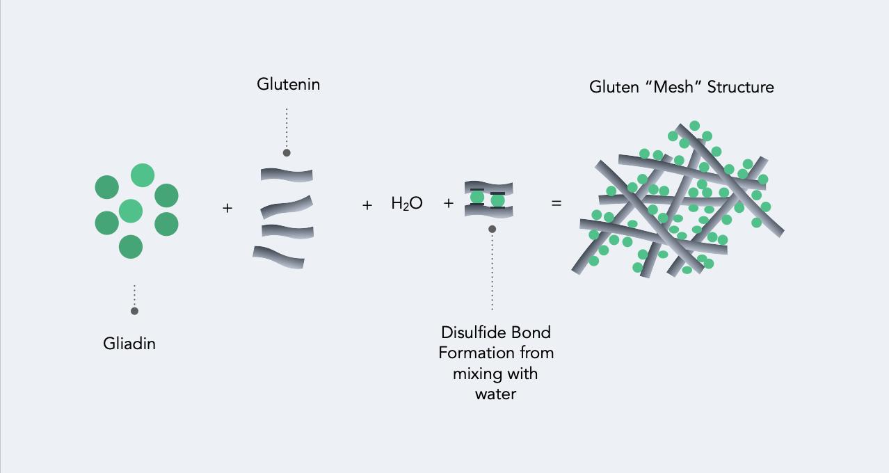 Gluten Glutenin Gluten Mesh Structure