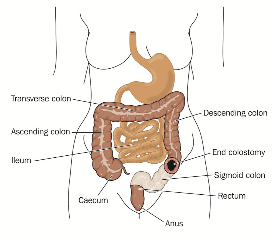 Adult Human Gastrointestinal Tract